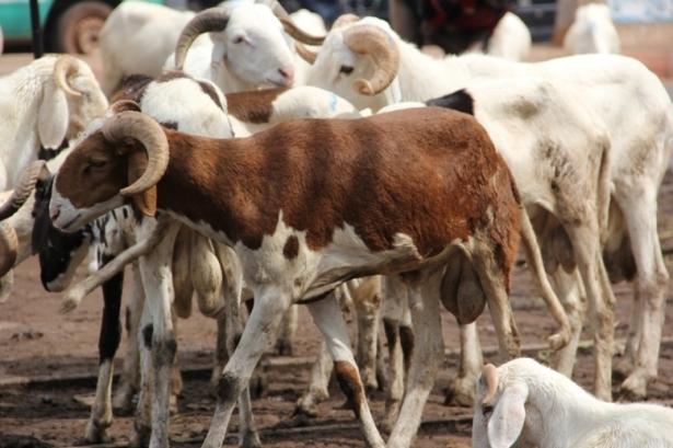 ZIGUINCHOR : les moutons de Tabaski « intouchables »