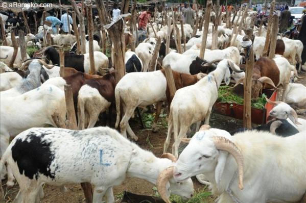 Plus de 60 mille moutons non vendus: des vendeurs pleurent sur leur sort