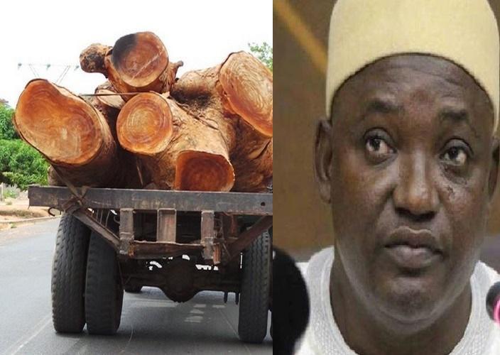 Depuis l'arrivée de Adama Barro: La Gambie a exporté 300.000 tonnes de bois rose de la Casamance vers la Chine