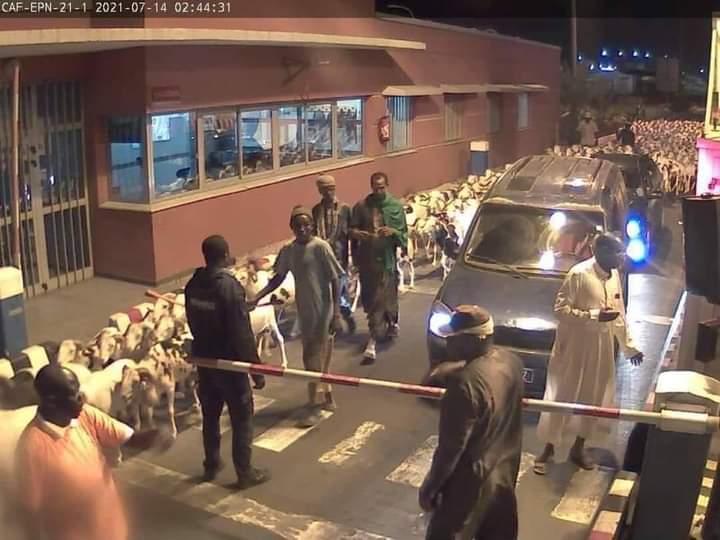 Divagation de moutons sur l'autoroute: le troupeau appartenait au député Farba Ngom