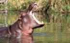 Tambacounda: Un hippopotame tue 24 personnes