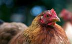 Bill Gates va donner 100.000 poulets pour sauver l'Afrique