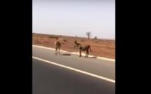 Un automobiliste filme des ânes qui traversent l'autoroute à péage